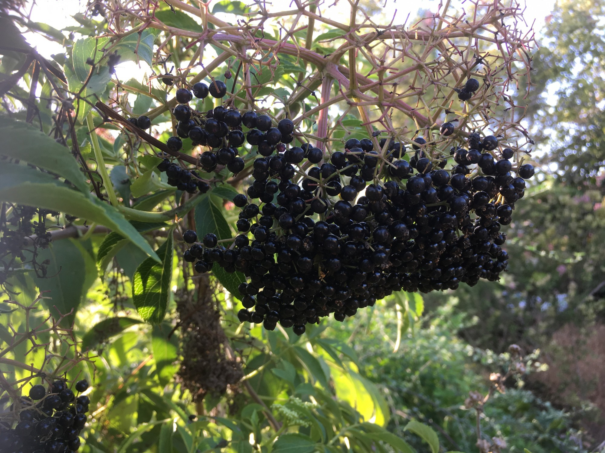 Elderberry strengthens the immune system - Beth